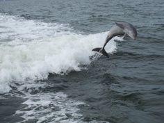 Dolphin, Sanibel Island