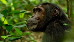 kibale-chimp     http://www.wildgorillasafaris.com/uganda-gorilla-safaris/3-days-gorilla-safari-to-mgahinga-national-park.html