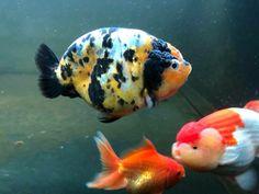 Freshwater Aquarium, Aquarium Fish, Ryukin Goldfish, Goldfish Tank, Koi Art, Golden Fish, Cool Fish, Pet Fish, Lovely Creatures