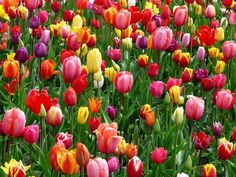Tulips make your garden more gorgeous and bring the colorful spring as close as you can get. Learn when and how to plant tulip bulbs. Yellow Tulips, Tulips Flowers, Spring Flowers, Flora Flowers, Colorful Flowers, Flower Images, Flower Photos, Gardening Supplies, Gardening Tips