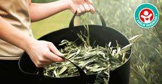 Akdeniz insanının uzun yaşama sırrı zeytin yaprağı çayının faydaları
