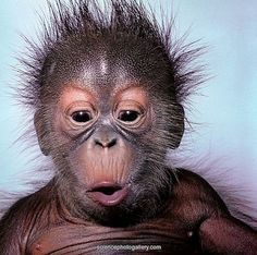Baby Orangutan - Orangutan (Pongo pygmaeus), 4 weeks old. Primates, Mammals, Cute Baby Animals, Animals And Pets, Funny Animals, Strange Animals, Wild Animals, Beautiful Creatures, Animals Beautiful