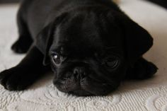 """Why are black Pugs the cutest doggies?  Because they look like """"Precious Moments."""""""
