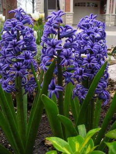 Beautiful Hyacinths Annie Koshy Photography