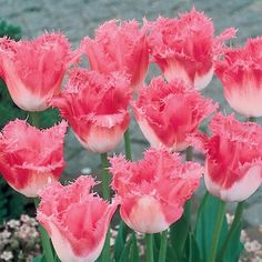 - Pink Fountain Tulip