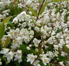DEUTZIA gracilis 'Nikko' Border Plants, Nikko, Shrubs, Sunlight, Shrub