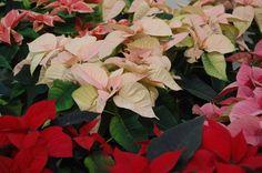 Zo geef je de beste verzorging aan de kerstster/poinsettia! Vermeerdering, water, grond en opnieuw in bloei krijgen.