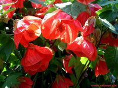 PlantFiles: Picture #3 of Flowering Maple, Chinese Bell Flower, Chinese Lantern, Parlor Maple 'Red Monarch' (Abutilon)