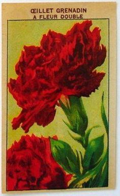 French Flower Seed Label, Ceillet Grenadin