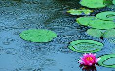 雨の波紋と蓮の花がきれい