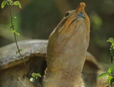 Its mouth hygiene may leave something to be desired: The Turtle that urinates through it's mouth ... !