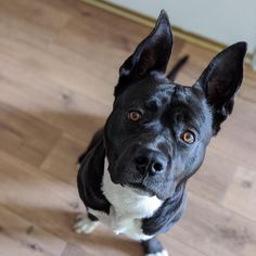 Meet Kyle from Los Angeles County, CA! This playful dog has played well with other dogs. 🐶 To make an appointment to adopt this bat-eared babe, please call 310-523-9566 and request Kyle by his ID number A5367126. #AdoptFromHome  #AdoptPureLove Hill City, Baldwin Park, Types Of Animals, Los Angeles County, Animal Control, Pet Care, Best Dogs, Pitbulls, Adoption