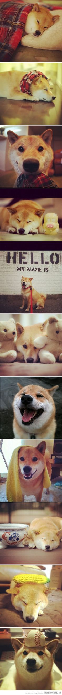 Meet Maru Taro the Shiba Inu. Shiba Inu, Animals And Pets, Funny Animals, Cute Animals, Golden Retriever, Labrador Retriever, Cute Puppies, Cute Dogs, Japanese Dogs