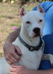 Sampson is an adoptable Dogo Argentino Dog in O Fallon, IL. Sampson was recently returned after being adopted from Spencer last year