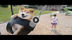 I protagonisti di questo video sono uno Shiba Inu e la sua giovanissima padroncina. La scena si svolge in un parco giochi dove la bambina si diverte a spingere
