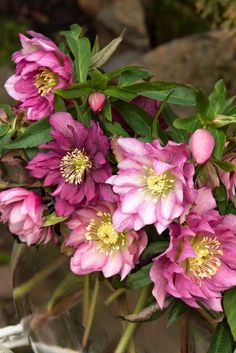 Windcliff Double Pink Lenten Rose -Hellebore - part shade