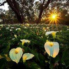 Arum Lilies Cape Naturaliste. Western Australia. #loveletters #love #life #nature #landscape #travel #Australia #naturephotography #naturelovers #photooftheday #photography #travelphotography #traveller #travelgram #instagood #instadaily #instaphoto #inst