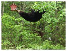 bear in tree attempting to get bird-feeder... commitment.... determination!