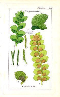 Resultado de imagen para Jungermanniaceae