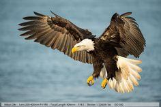 Beautiful Bald Eagle in Flight Homer Alaska