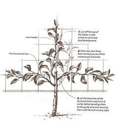 Espalier. Read the instructions here at http://www.finegardening.com/how-to/articles/espalier.aspx
