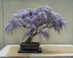 Erbstück 10 Wisteria Samen Bonsai Baum Samen Wisteria Sinensis