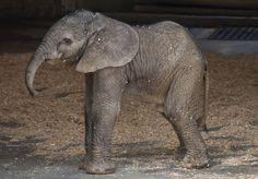 baby elephant for #nurseryart inspiration