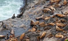 Sea Lion Caves north of Florence is one of the most accessible and dependable areas for spotting sea lions on the Oregon Coast. Rockaway Beach Oregon, Coos Bay Oregon, Oregon Coast, Oregon Vacation, Oregon Travel, West Coast Road Trip, Pacific Coast Highway, Portland, Florence Oregon