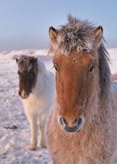 """""""Horses, Iceland"""""""