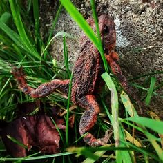 Roter #Frosch. Red #Frog