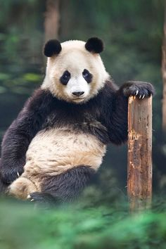 / Photo portrait of a panda by David Hobcote Panda Love, Cute Panda, Hello Panda, Amazing Animals, Animals Beautiful, Hello Beautiful, Animals And Pets, Funny Animals, Cute Animals