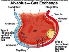 Gas Exchange (Human Respiratory System) Gas exchange is the biological process by which gases move passively by diffusion across a surface. Respiratory Therapist School, Registered Respiratory Therapist, Respiratory Therapy, Respiratory System, Nursing Tips, Nursing Notes, Nursing Theory, Rn School, Anatomy And Physiology
