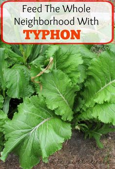 Typhon - The new green in town. You can feed the whole neighborhood on a small plot. And so good for you too. So easy! Grow some in your next garden. Learn how.