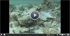 Amazing Octopus Video Showing Octopus Camouflage  #funny #funnyvideo