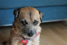 Border Joy - For Border Terriers & Their People - well worth a proper a look when i get time. In the meantime, any border terrier owner will know this look well!!