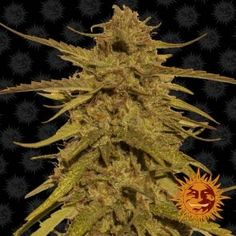 Pineapple Haze Regular is a killer Sativa with yields and a resistance to mould Tropical Fruits, Creating A Brand, Seeds, Grains