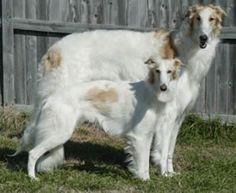 silken windhound photo   Silken Windhound – Breeders, Puppies and Breed Information « Dogs ...