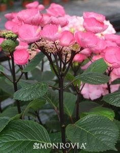 Monrovia's Abracadabra™ Star Hydrangea details and information. Learn more about Monrovia plants and best practices for best possible plant performance.