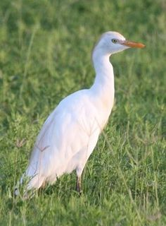 Texas Cow Bird/ Cattle Egret