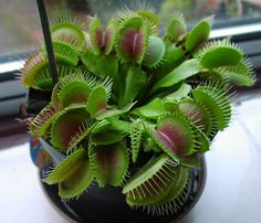20 Seeds Potted Venus Flytrap Plant Seeds Dionaea Muscipula Giant Clip Seeds Easy to Grow Carnivorous Plant Unusual Plants, Exotic Plants, Venus Fly Trap Care, Garden Plants, Indoor Plants, Greenhouse Gardening, Potted Plants, Pineapple Planting, Pitcher Plant