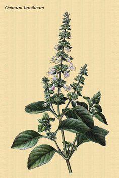 Un té hecho de las hojas frescas de albahaca es un  excelente remedio para la tos crónica, resfriados, alergias o asma.