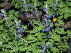 Salvia 'Marine Blue'