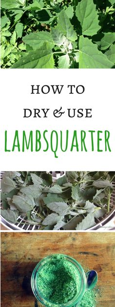 How to forage and use wonderful lambsquarter, with good tips for drying and storage.