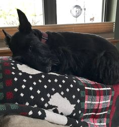 Fluffy Animals, Cute Animals, Scottish Terrier Puppy, Scottie Dogs, Dogs And Puppies, Doggies, Mini Schnauzer, Sleeping Dogs, Little Dogs