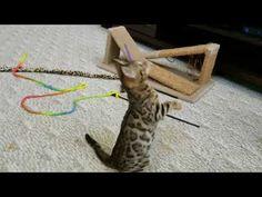 Tigress Girl 2 - Available Bengal Kittens For Sale, Kitten For Sale, Cattery