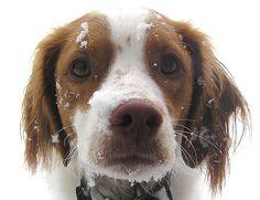 Brittany Spaniel Breed Information http://tipsfordogs.info/90dogtrainingtips/
