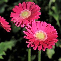 "Germinis ""Capri"" rose-fushia coeur vert (Lot et Garonne) - 10 fleurs"