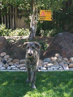 Jack Irish Wolfhound, 4 months
