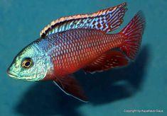 Malawi Cichlids, African Cichlids, Cichlid Aquarium, Aquarium Fish, Tropical Aquarium, Tropical Fish, Rift Valley, Fish Tanks, Victoria