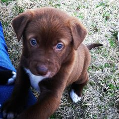 My dogs precious Lab/Husky/Pit mix puppy! Brown hair blue eyed beauty